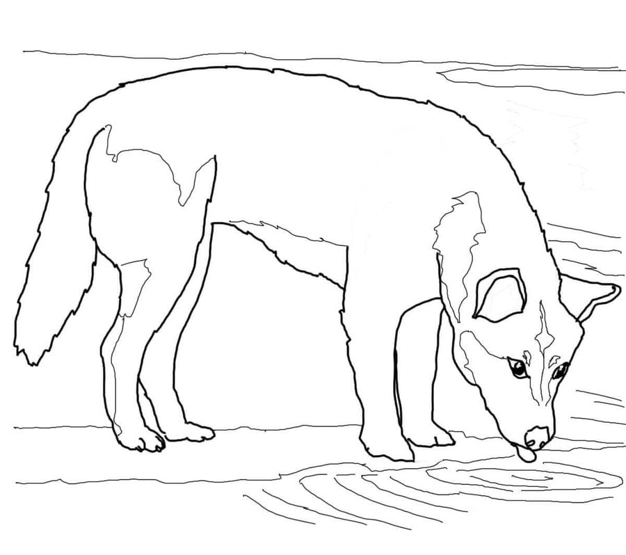 Dingo Coloring Pages Dingo Coloring Pages Dingoes Along With Dingo Pictures Furthermore Dingo