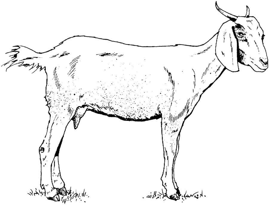 disegni da colorare  capre stampabile  gratuito  per