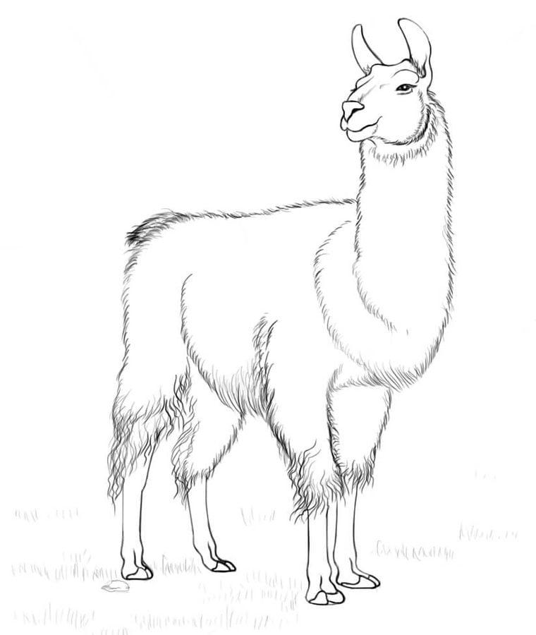 Line Drawing Llama : Ausmalbilder lama zum ausdrucken kostenlos für kinder