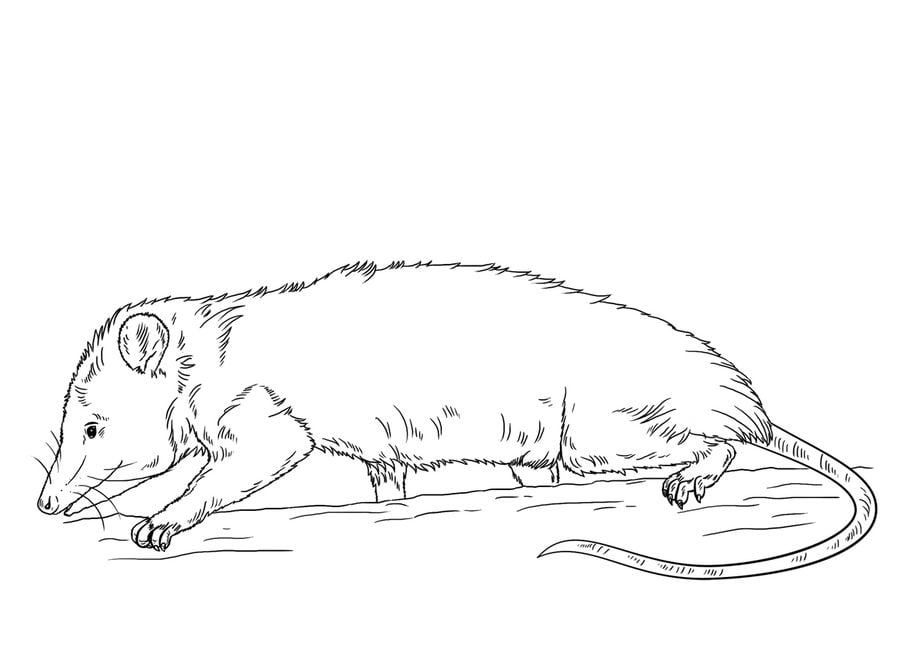 free possum coloring pages - photo#27