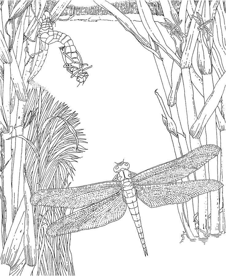 ausmalbilder  libelle zum ausdrucken  kostenlos  f u00fcr