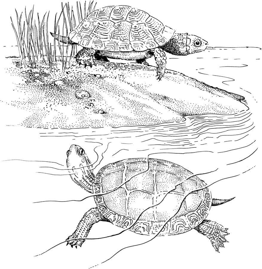 Dibujos Para Colorear Tortuga Espalda De Diamante