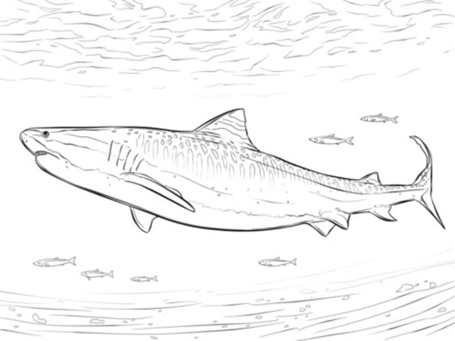 Disegni da colorare squalo tigre stampabile gratuito for Squali da colorare