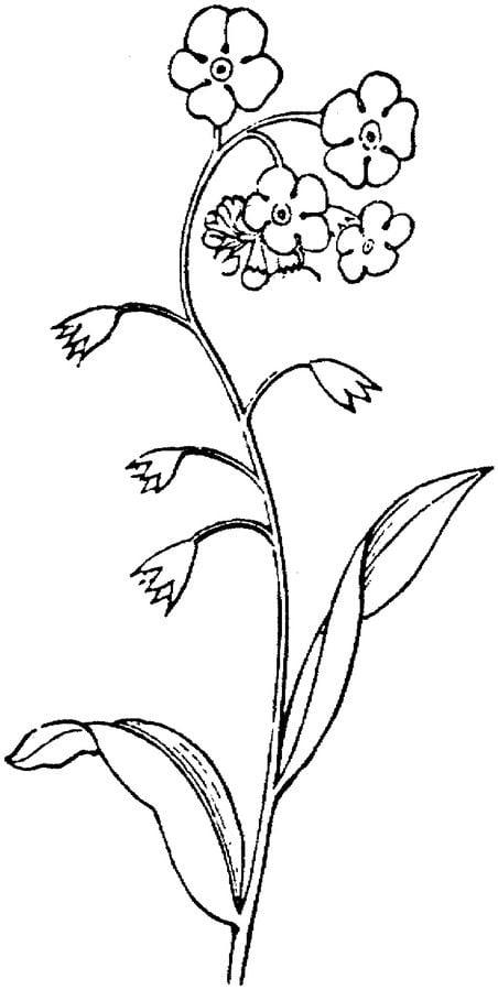 Coloriage Fleur Myosotis.Coloriages Myosotis Imprimable Gratuit Pour Les Enfants Et Les