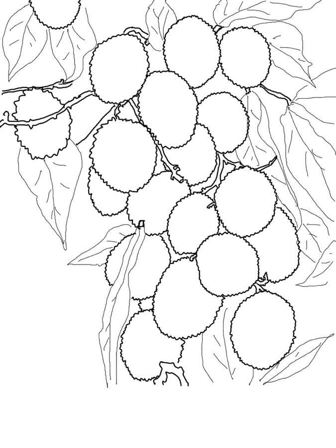 Litchi Coloriages Fruits Plantae