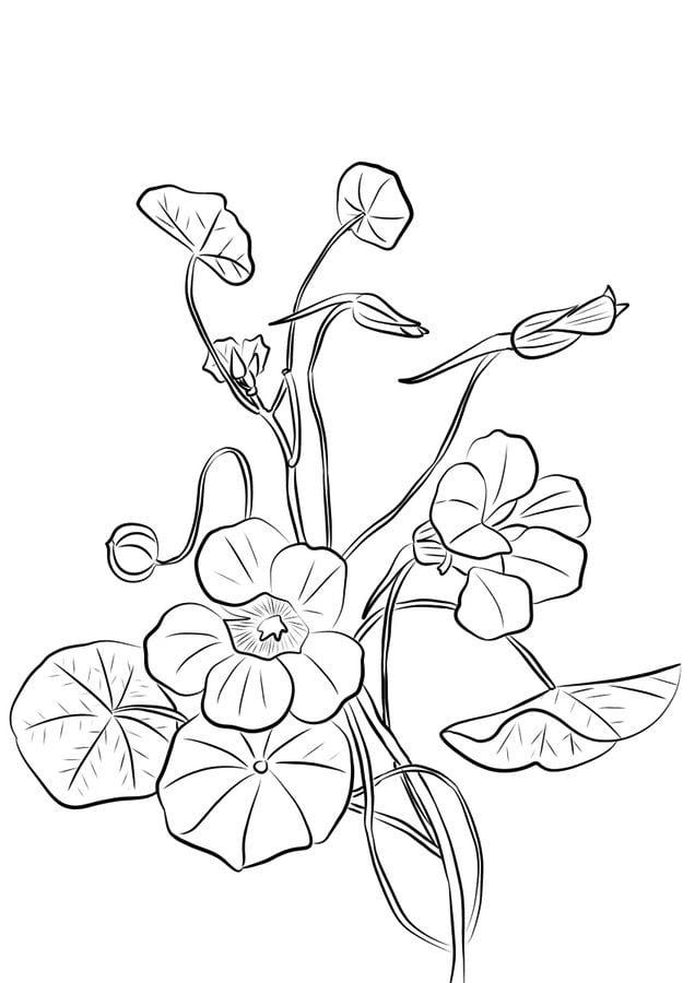 Coloriages capucine imprimable gratuit pour les enfants et les adultes - Coloriage fleur capucine ...