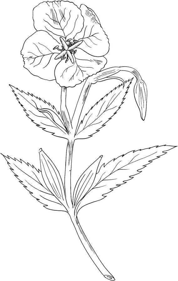 disegni da colorare disegni da colorare primula