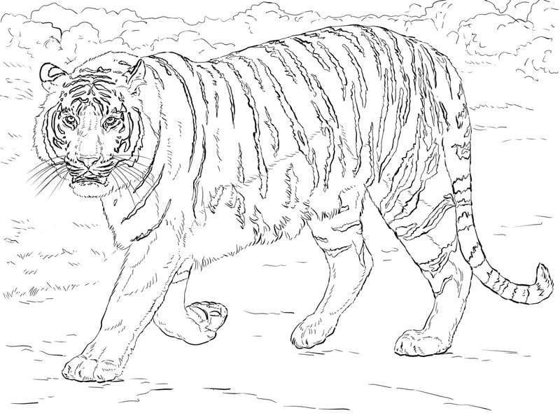 ausmalbilder für erwachsene tiger zum ausdrucken