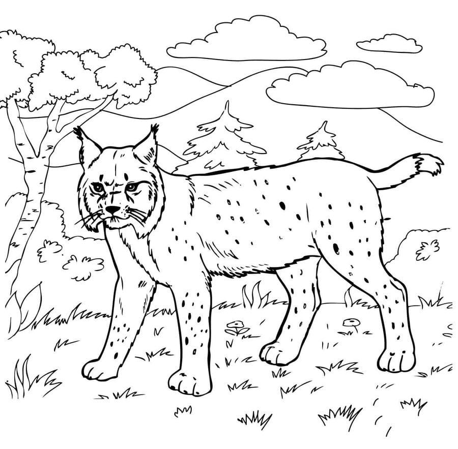 Dibujos para colorear: Lince rojo imprimible, gratis, para los niños ...
