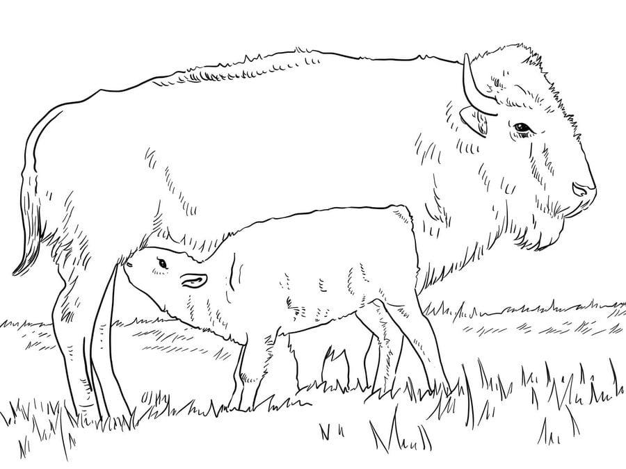 Dibujos para colorear: Búfalo imprimible, gratis, para los niños y ...