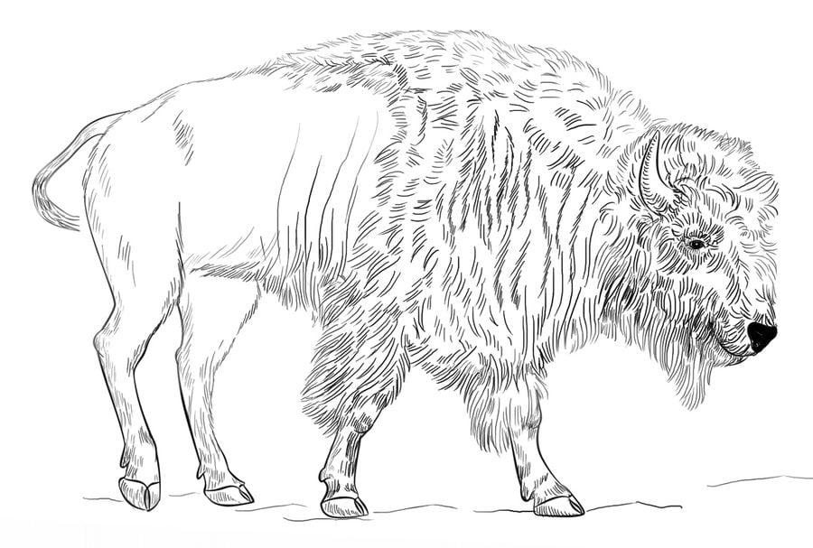 купулуна картинки овцебыка для раскраски основном именно