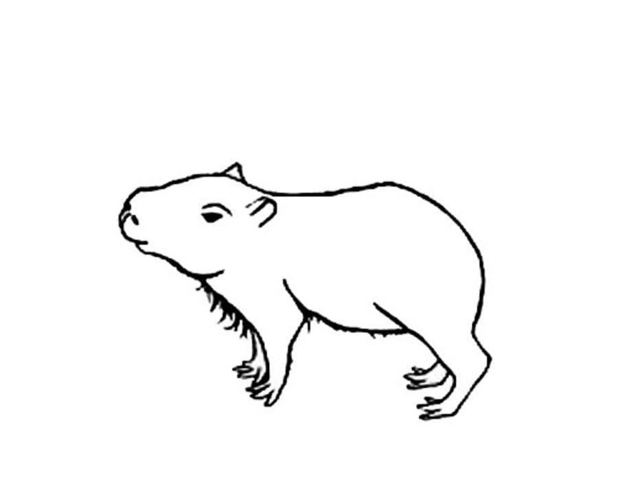 Capybara animals coloring pages mammals