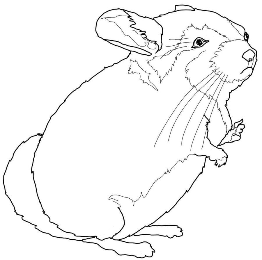 Dibujos para colorear chinchillas imprimible gratis for Chinchilla coloring pages to print