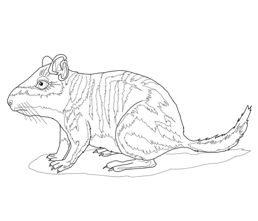 Chinchillas Animals Coloring Pages Mammals