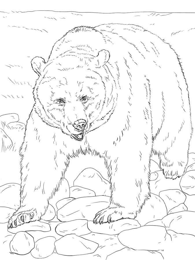 Dibujos para colorear: Oso grizzly imprimible, gratis, para los ...