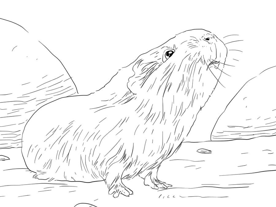 Coloring pages: Guinea pig, printable for kids & adults, free
