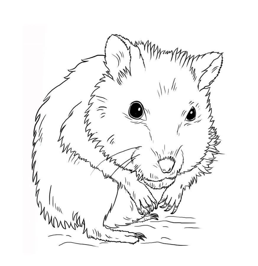 Dibujos Para Colorear Hamsteres Imprimible Gratis Para Los