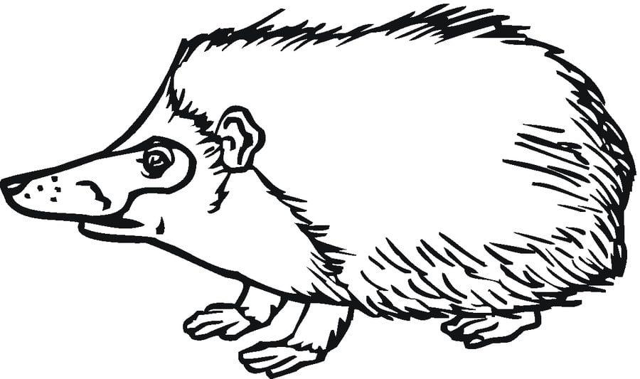 erizos animales dibujos para colorear mamferos