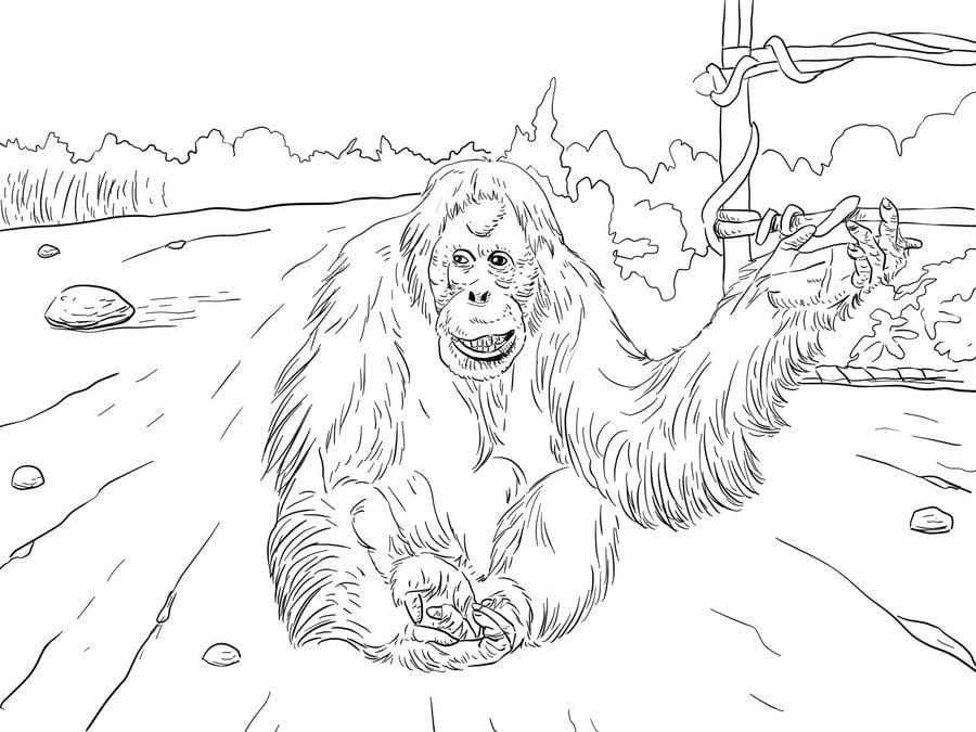 Dibujos Para Colorear Orangutanes Imprimible Gratis