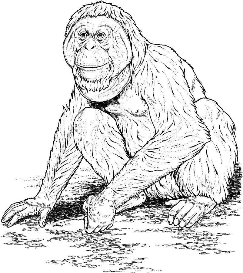 Coloring pages Orangutans printable
