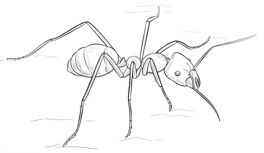 Dibujos para colorear Hormigas imprimible gratis para los nios