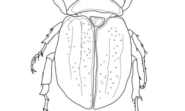 Coloring pages: Beetles