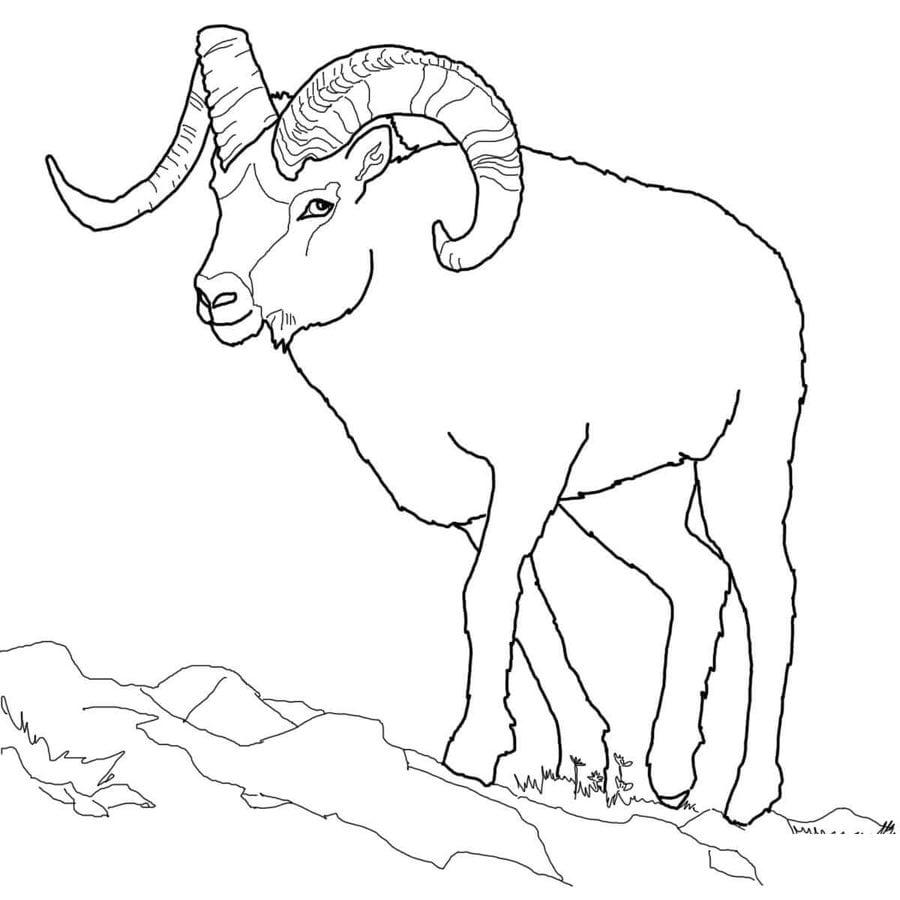 disegni da colorare  pecora delle montagne rocciose
