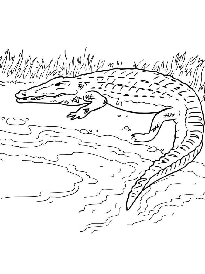 Ausmalbilder Krokodil Zum Ausdrucken Kostenlos F 252 R
