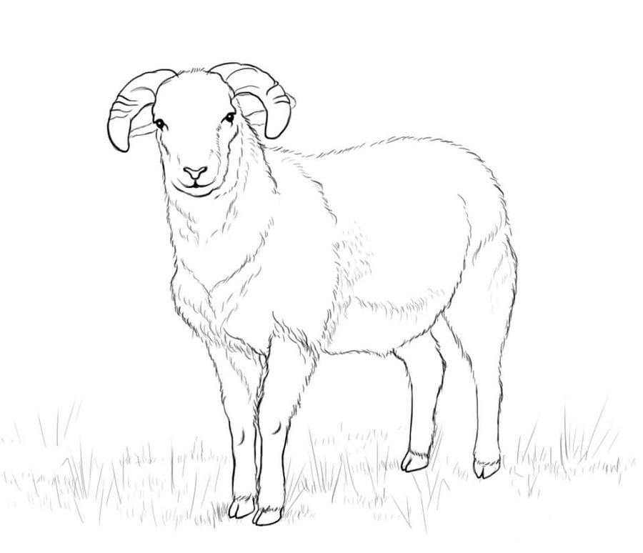 Рисунок овцы карандашом