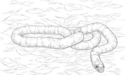 Coloring pages: Kingsnake