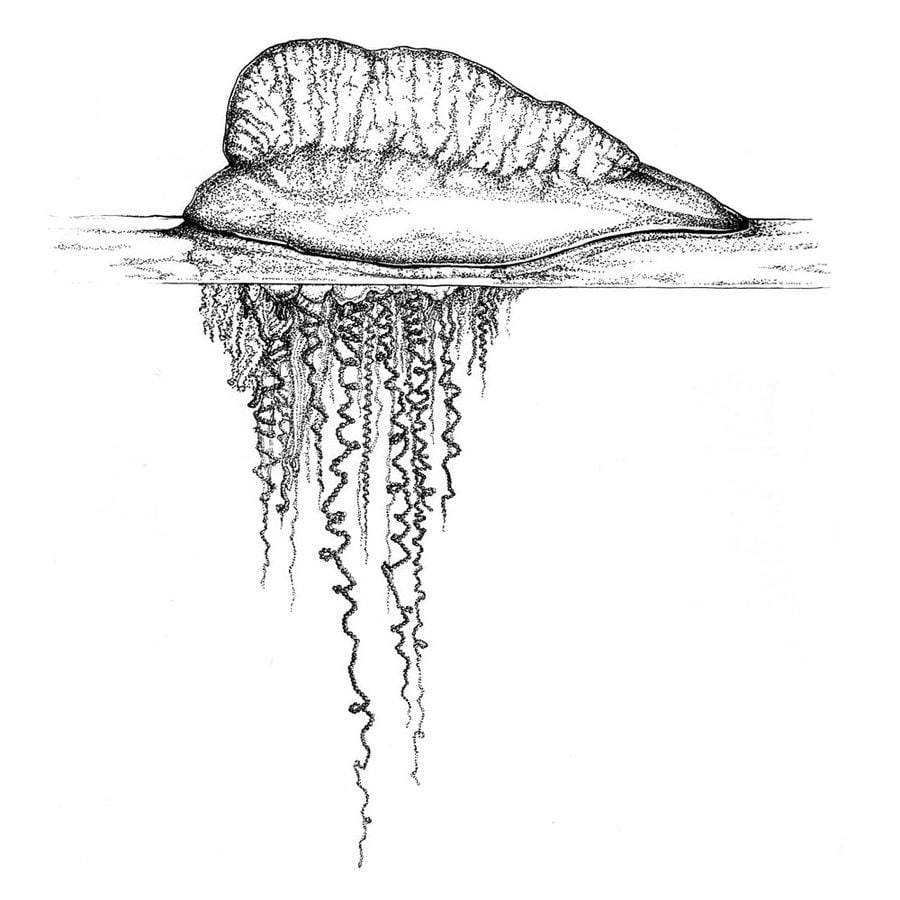 coloring pages portuguese man of war printable for kids u0026 adults