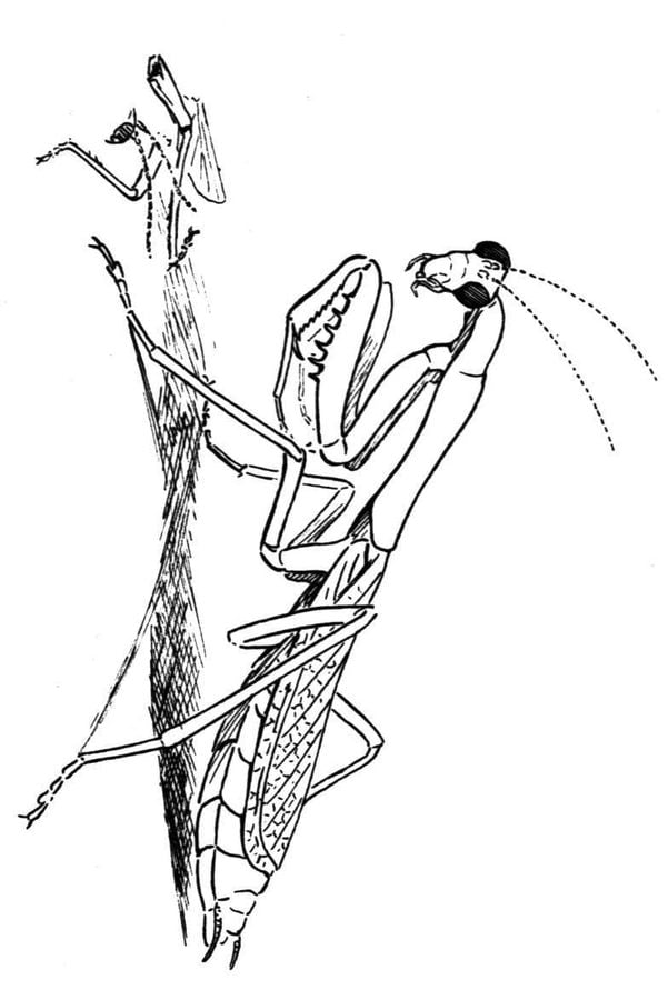 Coloring Pages Coloring Pages Praying Mantis Printable For Kids