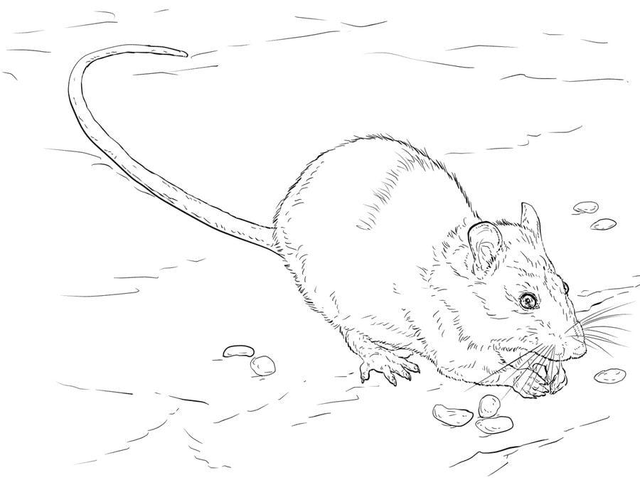 Dibujos Para Colorear: Ratas Imprimible, Gratis, Para Los