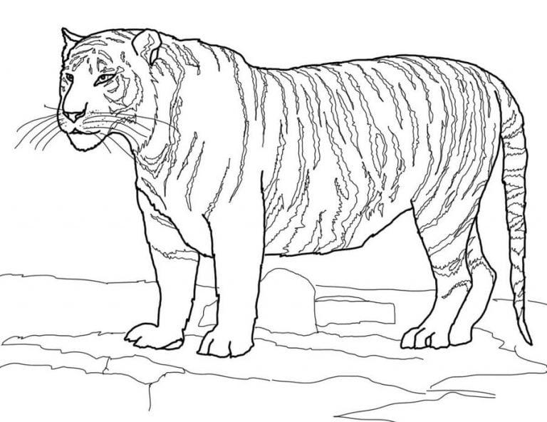 ausmalbilder tiger zum ausdrucken kostenlos für kinder