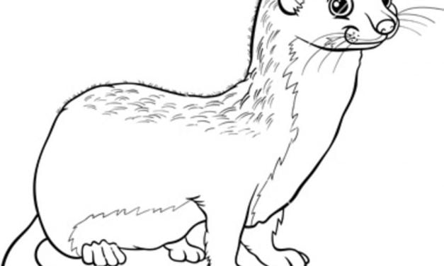 Coloring pages: Weasels