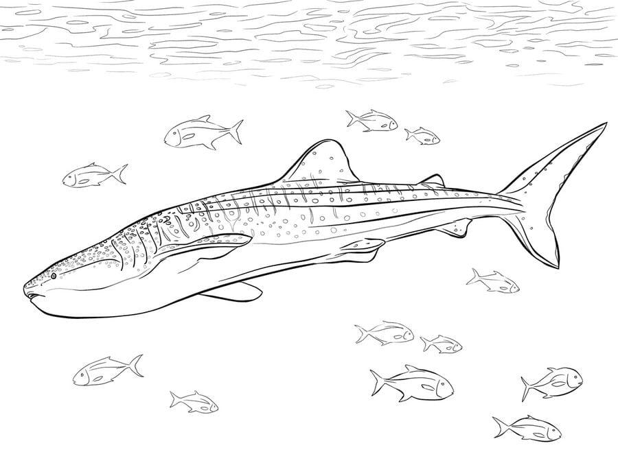 Dibujos para colorear: Tiburones ballena imprimible, gratis, para ...