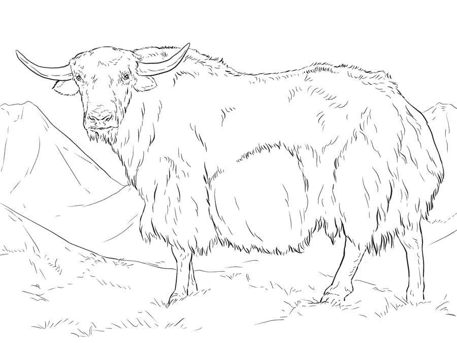 картинка овцебыка распечатать пробовал то