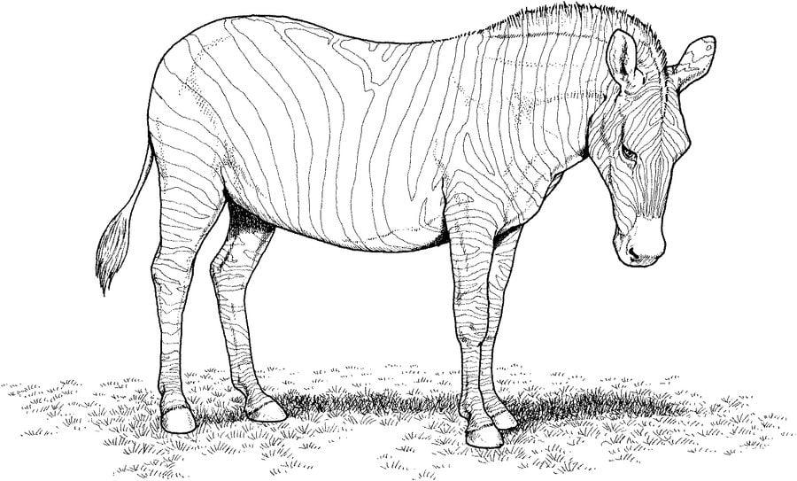 Kolorowanki Zebra do druku dla