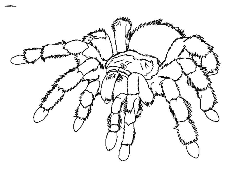 Ausmalbilder: Vogelspinnen Ausmalbilder Spinnen Tiere