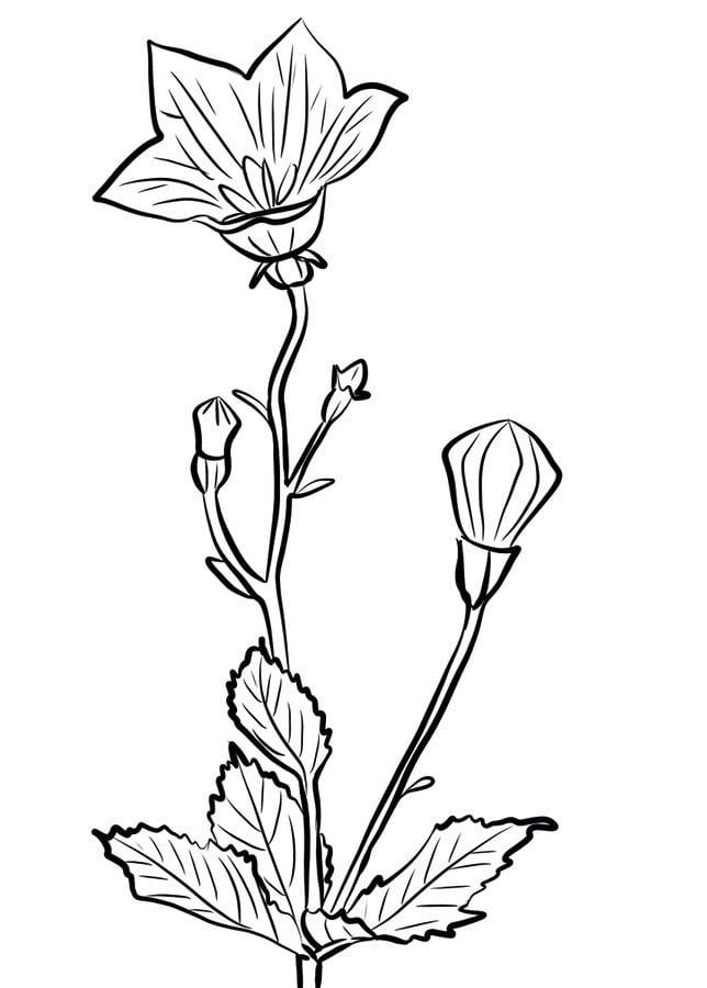 ausmalbilder ausmalbilder glockenblume zum ausdrucken