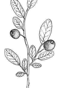 Coloring pages: Huckleberry