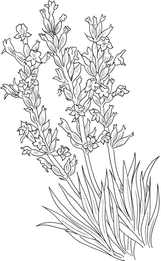 Ausmalbilder Ausmalbilder Lavendel Zum Ausdrucken Kostenlos Für
