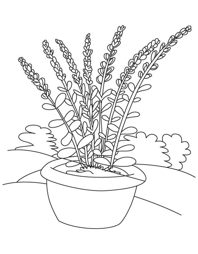coloring pages of lavender - photo#16