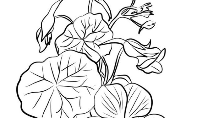 Coloring pages: Nasturtium