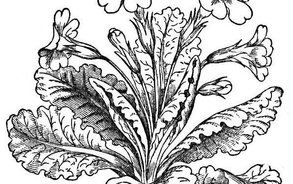 Coloring pages: Primula
