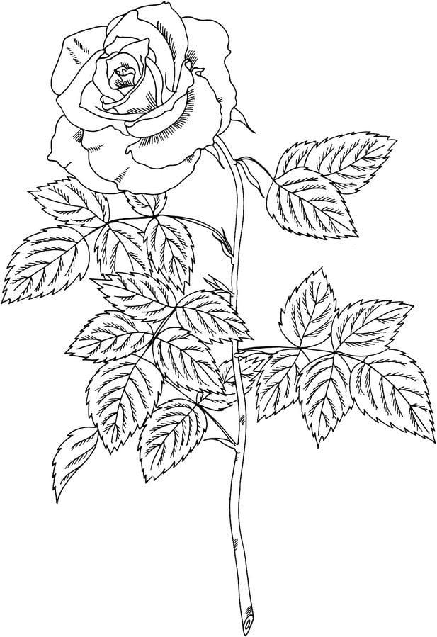 ausmalbilder: ausmalbilder: rosen zum ausdrucken