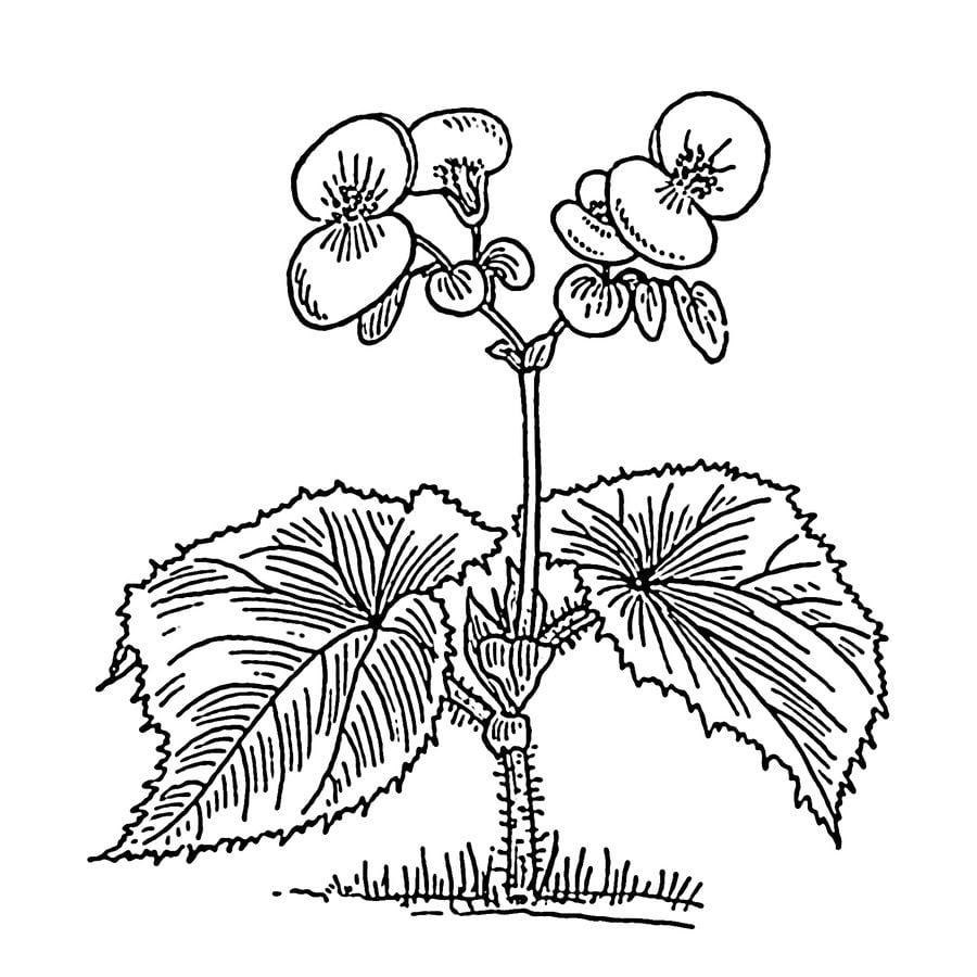 Dibujos para colorear: Begonia imprimible, gratis, para los niños y ...