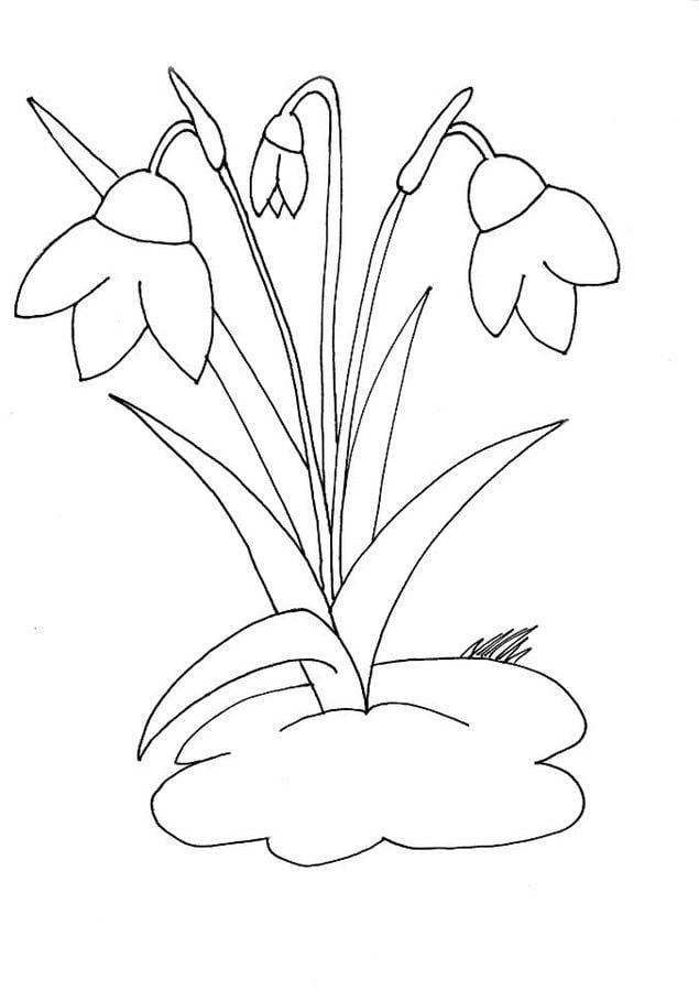 disegni da colorare fiore bucaneve