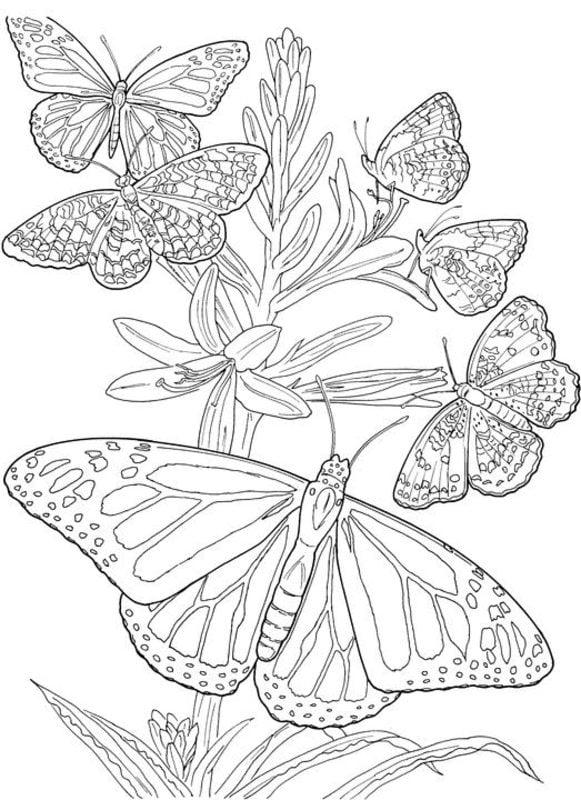 Ausmalbilder Für Erwachsene Schmetterlinge Zum Ausdrucken