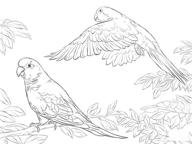 Kolorowanki Dla Dorosłych Papuga Do Druku Pobrania Za